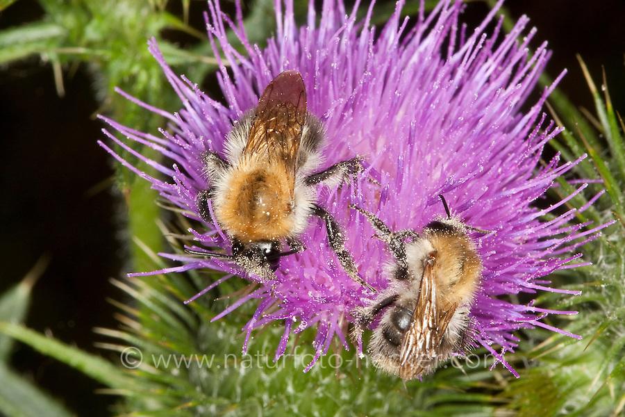 Ackerhummel, Acker-Hummel, Acker - Hummel, Bombus pascuorum, syn. Bombus agrorum, beim Blütenbesuch, Nektarsuche, Bestäubung, common carder bee