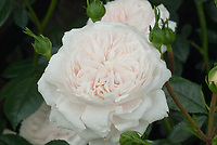 Rosa Macmillan Nurse white, pale pink shrub rose