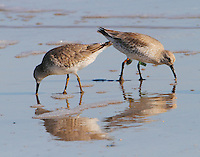Two red knots in winter plumage feeding on beach, note the bands