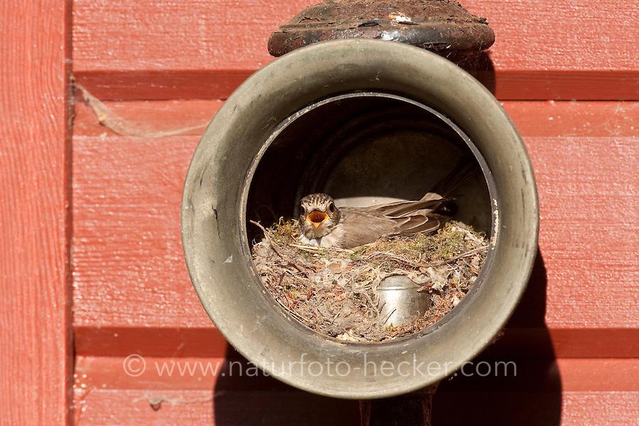 Grauschnäpper, Grau-Schnäpper brütet in einer alten Laterne, Lampe, am Haus, Nest, Muscicapa striata, Spotted Flycatcher, Gobemouche gris