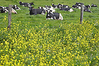 Holstein cows lying down in pasture.  Point Reyes National Seashore. California