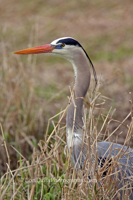 Blue Heron Portrait #H17
