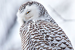 photos, pictures, images of Marquette Michigan, Marquette, MI, snowy owl