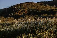 Campo. Sembrad&iacute;o de ma&iacute;z y granos.  <br /> Rancho eco tur&iacute;stico El Pe&ntilde;asco en el pueblo Magdalena de Kino. Magdalena Sonora. <br /> &copy;Foto: LuisGutierrrez/NortePhoto