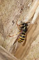 Sächsische Wespe, sammelt Holz für ihren Nestbau, Kleine Hornisse, Dolichovespula saxonica, Vespula saxonica, Saxon wasp, Faltenwespen, Papierwespe, Papierwesen, Vespidae