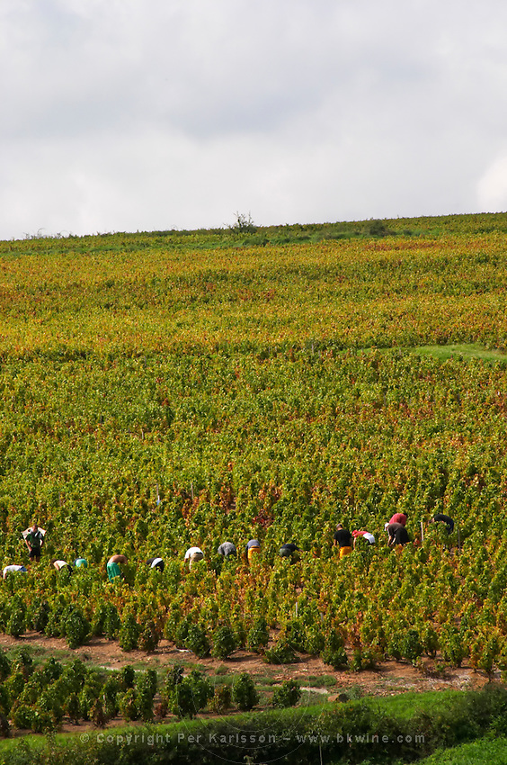 Harvest workers in the vineyard. Morgon. Beaujolais, Burgundy, France