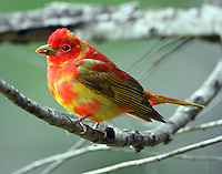 First spring summer tanager male molting to adult plumage in spring migration