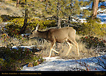 Mule Deer Doe in Winter, Black-tailed Deer, Odocoileus hemionus, Sunrise Point, Bryce Canyon National Park, Utah