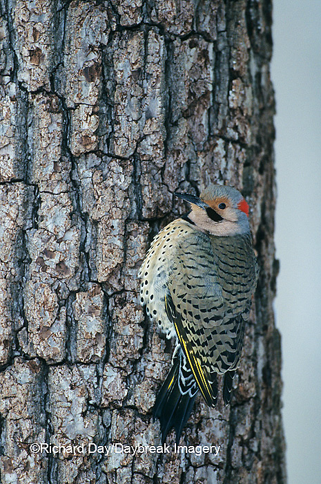 01193-01010 Northern Flicker (Colaptes auratus) male Marion Co.   IL