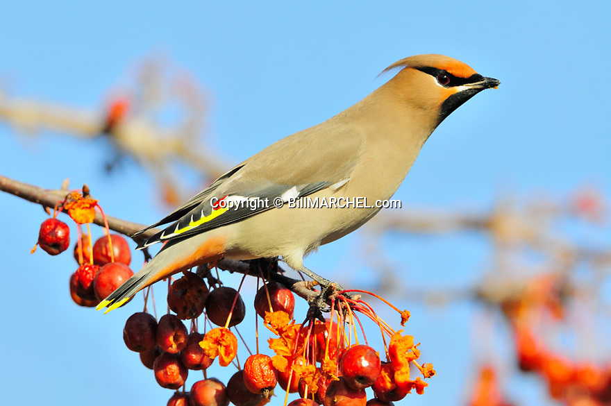 00110-013.06 Bohemian Waxwing pauses while feeding on crabapples during winter. Landscape, backyard, fruit, food, bird, birding.