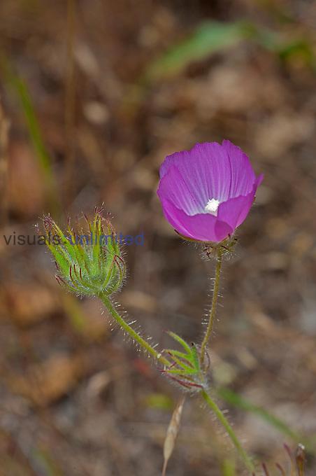 Checkerbloom (Sidalcea malvaeflora), Pepperwood Preserve, Santa Rosa, California, USA.