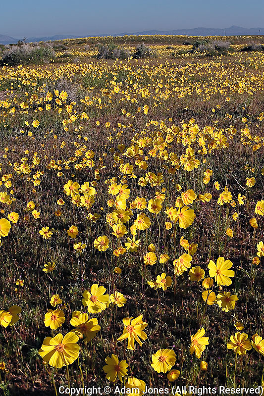 Mojave Coreopsis, Coreopsis calliopsidea,  Mojave Desert, California
