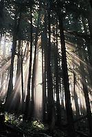 Sunlight shining through trees, Mt. Rainier National Park, Washington