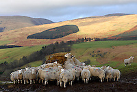 Ewes near Moffat in the Scottish Borders taking an early evening bite of silage from a ring feeder.
