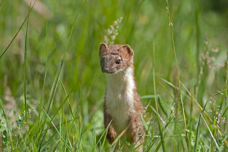 Stoat Mustela erminea Length 25-40cm Active predator with a long, sinuous body. Catches mainly rodents and Rabbits. Male is larger than female. Adult has summer coat comprising orange-brown upperparts and white underparts; tail is black-tipped. In winter, some animals in N acquire white 'ermine' coat; tip of tail remains black. Utters high-pitched calls in alarm. Widespread but seldom common; still widely persecuted. In Ireland, sometimes confusingly referred to as a weasel. Favoured habitats include farmland, woodlands, marshes and moors.