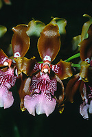 Odontoglossum wyattianum, orchid species native to Peru, a rare and beautiful plant often confused with closely related Odontoglossum harryanum