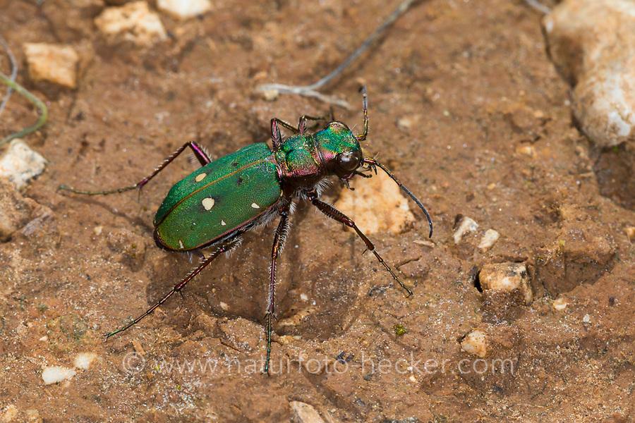 Feld-Sandlaufkäfer, Feldsandlaufkäfer, Sandlaufkäfer, Feldsandläufer, Cicindela campestris, green tiger beetle, La Cicindèle champêtre, Cicindelidae, tiger beetles