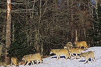 Pack of Gray Wolves (Canis lupus) at deer kill.