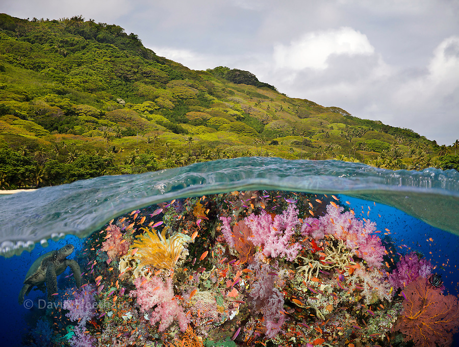 A half above, half below look at a Fijian reef with alconarian and gorgonian coral and a green sea turtle, Fiji.