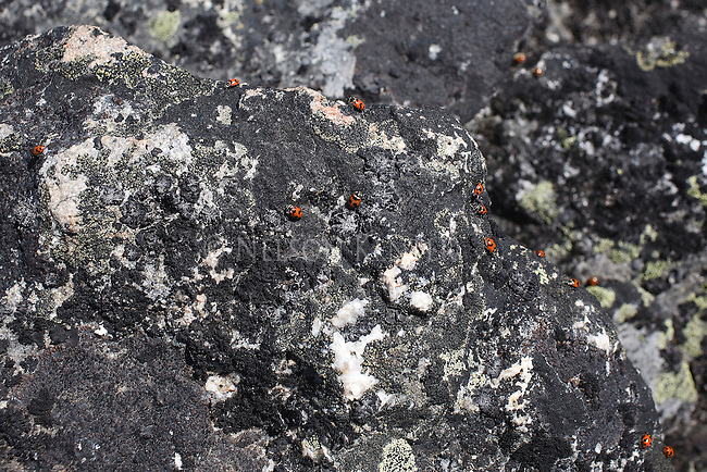 Congregation of Ladybugs on rocks at 9000 foot high Lolo Peak in western Montana