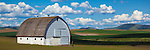 The Palouse, Whitman County, WA: White barn in the rolling wheat fields of the Palouse