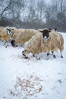 Sheep feeding in the snow -  Rutland, February
