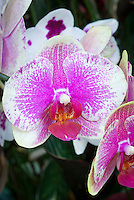 Doritaenopsis (Haur Jin Star x Jiuhbao Red Rose) Orchid recent hybrid, white flowr overlaid with rose pink, with red llp