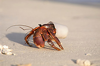 Variable Hermit Crab (Paguridae sp.), living in plastic cup, Maldives, Asia