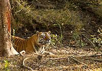 Tiger (Panthera tigris tigris), male resting, Bandhavgarh National Park, India, February 2013