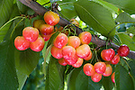 Rainier Cherries at orchard owned by Ed Clark and Doug Drescher near Orondo, WA
