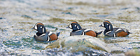 Three Drake (male) Harlequin ducks swim in the headwaters of the Gulkana river, Interior, Alaska