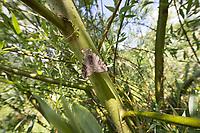 Weidenkarmin, Weiden-Karmin, Weidenkamin, Catocala electa, rosy underwing, l'élue, lichénée élue, la choisie, Eulenfalter, Noctuidae, noctuid moths, noctuid moth