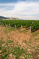Vineyard. Biblia Chora Winery, Kokkinohori, Kavala, Macedonia, Greece