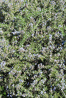 Rosmarinus officinalis in bloom Rosemary herb, prostrata form