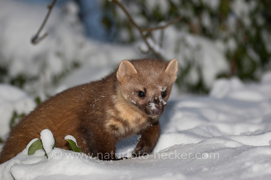 Baummarder schleicht im Winter bei Schnee, Baum-Marder, Edelmarder, Edel-Marder, Marder, Martes martes, European pine marten