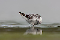 Red-necked Phalarope (Phalaropus lobatus), East Pond, Jamaica Bay Wildlife Refuge