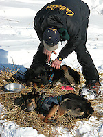 Jon Little.Jeff King puts zinc oxide ointment between the toes of his dogs to protect their feet while they take a rest at Koyuk, March 13, 2006