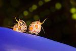 Gammaridean Isopods (Cyproidea), Komodo, Indonesia.