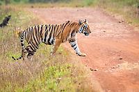 Bengal tiger, Panthera tigris tigris, crossing the dirt road, Tadoba Andhari Tiger Reserve, Tadoba Andhari National Park, Chandrapur, Maharashtra, India