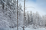 A snowy day in the tall pines at Beaver Brook Preserve, Hollis, NH, USA