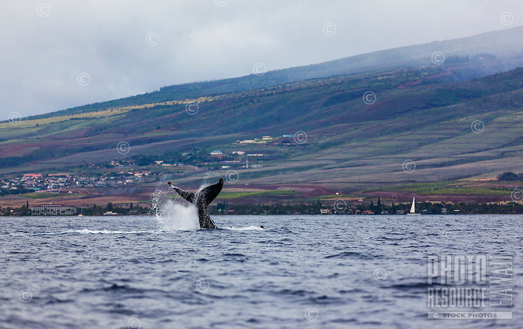 A whale flipping its tail into the air with the coast of Maui in the background.