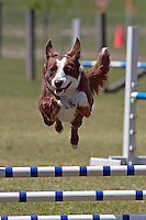 Border Collie jumping during an agility competition in Gloucester, VA