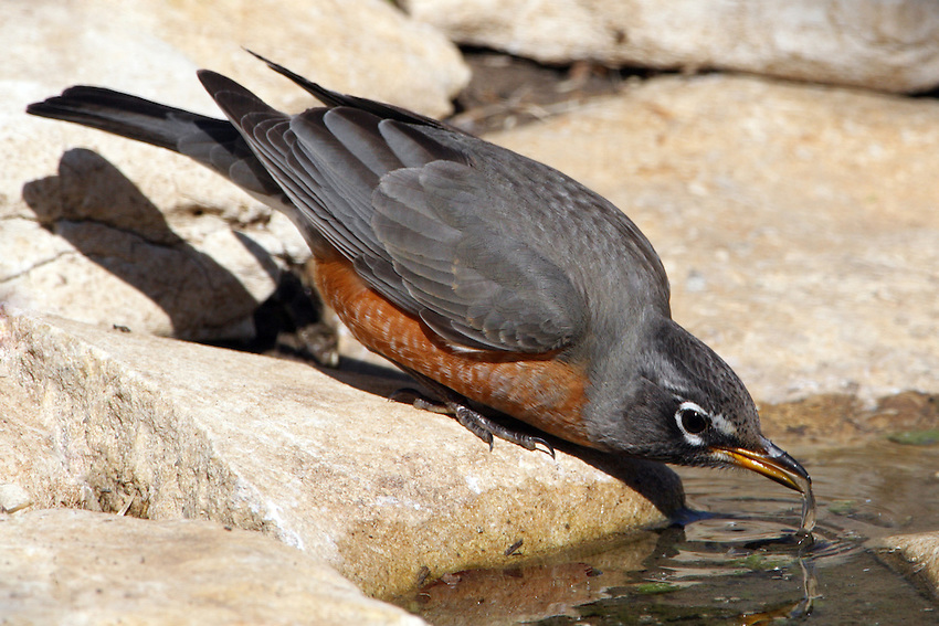 The quintessential early bird, American Robins are common across North America.