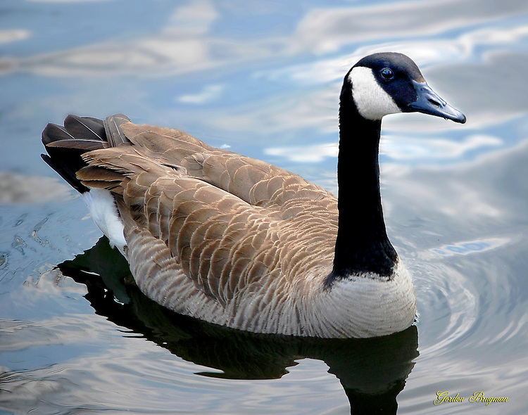 Canadian Goose on the Littler Pigeon River. Smoky Mountain photos by Gordon and Jan Brugman.