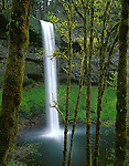 Silver Falls State Park, OR<br /> Big Leaf Maples with moss covered trunks and emerging spring leaves frame South Falls in Silver Creek Canyon