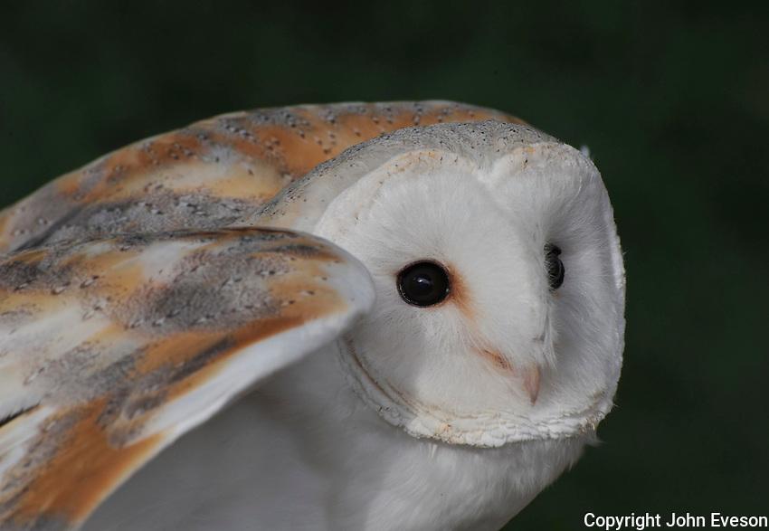 Barn owl close-up. Tyto alba...Copyright..John Eveson, Dinkling Green Farm, Whitewell, Clitheroe, Lancashire. BB7 3BN.01995 61280. 07973 482705.j.r.eveson@btinternet.com.www.johneveson.com