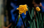 A87DG7 Wild woodland daffodils Suffolk England