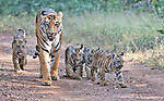 A tigress strolls down a dusty track with her four cubs walking in a line alongside her as the population of wild tigers is once again on the rise.   Deep in the heart of the Indian jungle, 100km from the nearest village, the family are safe from human interference. <br /> <br /> Normally, tigers only give birth to between two to three young at one time so the unusually large litter is a sign that their once diminished numbers are now increasing.    The images, captured in Tadoba Andhari Tiger Reserve, Maharashtra, India show the seven year old mother with her newborn cubs.    SEE OUR COPY FOR DETAILS<br /> <br /> Please byline: Amrut Naik/Solent News<br /> <br /> © Amrut Naik/Solent News & Photo Agency<br /> UK +44 (0) 2380 458800