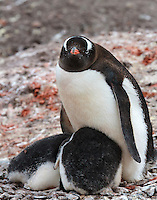 2 Gentoo penguin chicks shelter from wind on a small island in Mikkelsen Harbor at Trinity Island in the Antarctic.