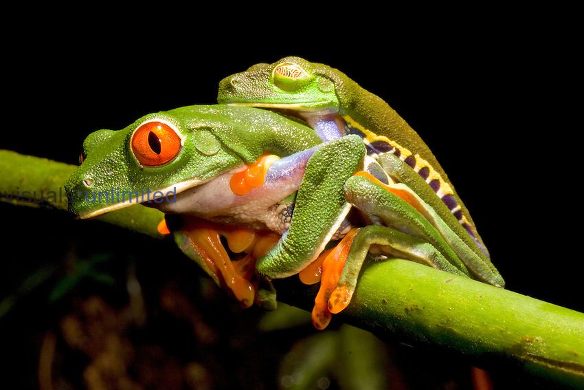 Amplexus of Red-eyed Tree Frog (Agalychnis callidryas), Costa Rica